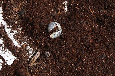 カブトムシ孵化_2553.JPG